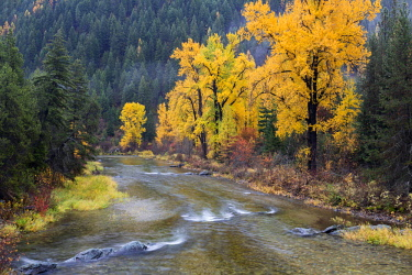 US27JWI0349 Montana, Mineral County, St. Regis River and trees with golden fall color