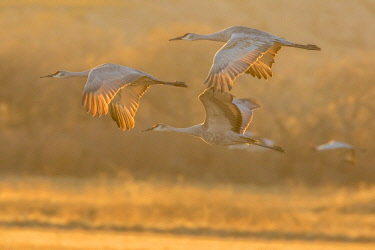 US32BJY0218 USA, New Mexico, Bosque Del Apache National Wildlife Refuge. Sandhill cranes flying at sunset.