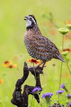 US44LDI2281 Northern Bobwhite (Colinus virgianus) male calling