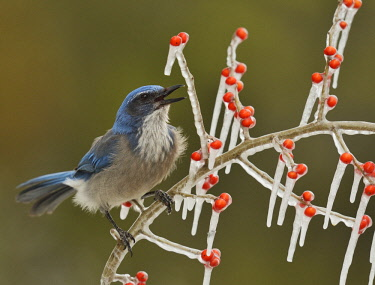 US44RNU0483 Western Scrub-Jay (Aphelocoma californica), adult calling on icy branch of Possum Haw Holly (Ilex decidua) with berries, Hill Country, Texas, USA