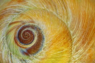 US48BJY0557 USA, Washington State, Seabeck. Abstract of moon snail shell close-up.