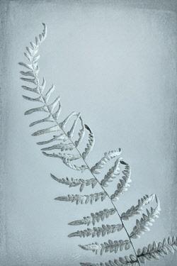 US48BJY0566 USA, Washington State, Seabeck. Bracken fern abstract.