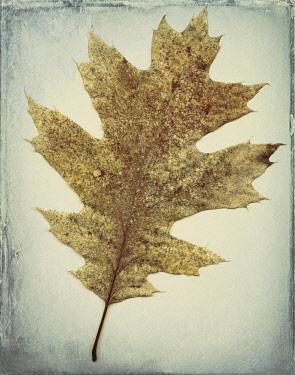 US48BJY0567 USA, Washington State, Seabeck. Oak leaf close-up.