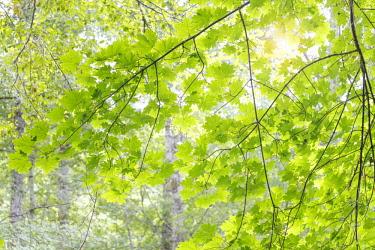 US48BJY0578 USA, Washington State, Seabeck. Big leaf maple leaves.
