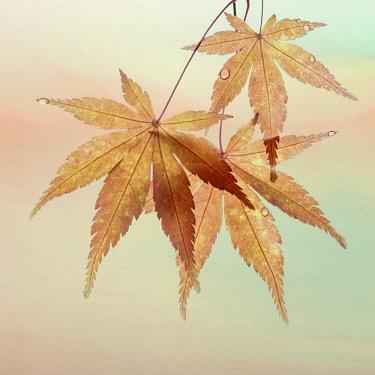 US48BJY0590 USA, Washington State, Seabeck. Fall maple leaves.
