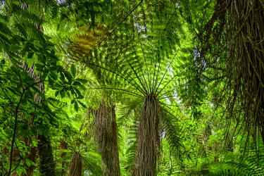 NZ9271AW Oceania, New Zealand, Aotearoa, North Island, Tongariro National Park, fern tree in temperate rain forest
