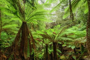 AUS3120AW Oceania, Australia, Tasmania, Tarkine Forest at Trowutta Arch