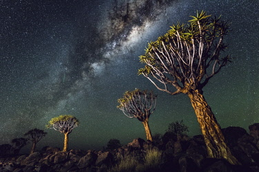NAM6512AW Quiver tree forest (Aloe dichotoma), Keetmanshoop, Namibia, Africa. Trees at night under the stars of the southern hemisphere.