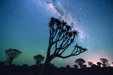 NAM6513AW Quiver tree forest (Aloe dichotoma), Keetmanshoop, Namibia, Africa. Trees at night under the stars of the southern hemisphere.