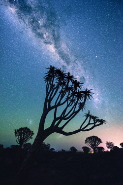 NAM6514AW Quiver tree forest (Aloe dichotoma), Keetmanshoop, Namibia, Africa. Trees at night under the stars of the southern hemisphere.