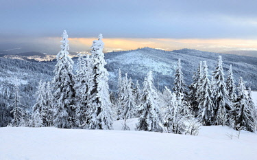 IBLAVI04640410 Morning atmosphere, snow-covered spruces on the mountain Lusen in winter, Bavarian Forest National Park, Bavaria, Germany, Europe