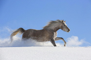 IBLJMO04602656 Arabian horse, mare galloping in deep snow, Tyrol, Austria, Europe