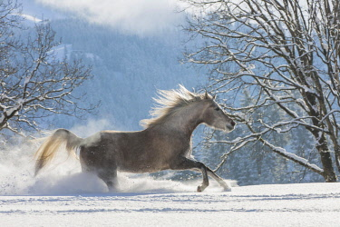 IBLJMO04602666 Arabian horse, mare galloping in deep snow, Tyrol, Austria, Europe