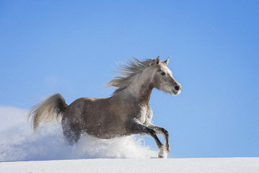 IBLJMO04602670 Arabian horse, mare galloping in deep snow, Tyrol, Austria, Europe