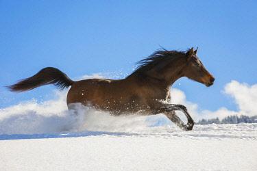 IBLJMO04602679 Arabian horse, mare galloping in deep snow, Tyrol, Austria, Europe