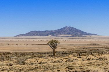 IBXDRN04648941 Desert-like landscape with Quiver tree (Aloe dichotoma), crossing Khomas-Hochland to the coastal desert Kries se Rus, Khomas Region, Namibia, Africa