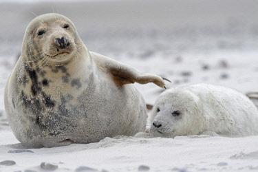 IBXFRW04623553 Grey seals (Halichoerus grypus), baby with dam at the beach, Island of Dune, Helgoland, Schleswig-Holstein, Germany, Europe