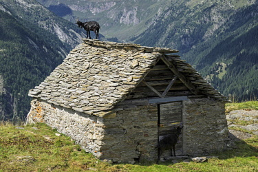 IBXHAL04645856 Goat (Capra) on the roof of an old stone hut near the Alpe Corte del Sasso, Lavizzara, Canton Ticino, Switzerland, Europe