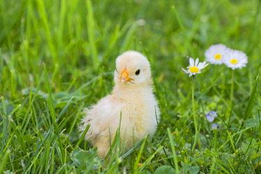 IBXANO04104894 Bantam chick, Tyrol, Austria, Europe