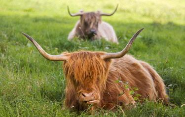 IBXCJS04234775 Highland cattle (Bos taurus), Bergisches Land or Land of Berg, North Rhine-Westphalia, Germany, Europe