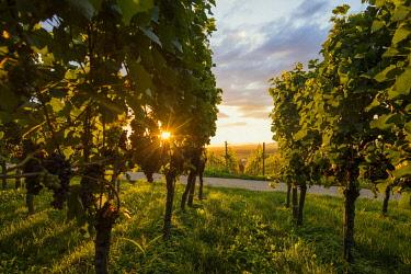 IBXDJS04638790 Solar reflex, vineyard with red grapes, Kaiserstuhl, Baden-Wurttemberg, Germany, Europe
