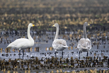 IBXENH04634300 Whooper swans (Cygnus cygnus) stand on harvested cornfield, Emsland, Lower Saxony, Germany, Europe