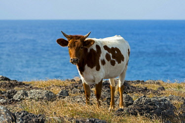 IBXERI03971784 Cattle on the Pacific coast, Easter Island, Chile, South America