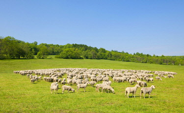 IBXFSO04201905 A flock of domestic sheep at the Hainich National Park, Thuringia, Germany, Europe
