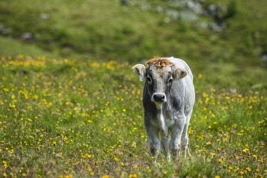 IBXGLF04195172 Calf in a meadow, High Tauern National Park, Matrei, East Tyrol, Tyrol, Austria, Europe