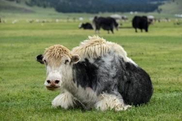 IBXGVA04291316 Black White yak (Bos mutus), Orkhon Valley, Khangai Nuruu National Park, Va Arkhangai Aimag, Mongolia, Asia