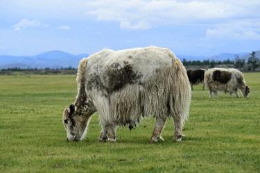IBXGVA04291322 Grazing light brown yak (Bos mutus) with long-haired fur, Orkhon Valley, Khangai Nuruu National Park, Va Arkhangai Aimag, Mongolia, Asia