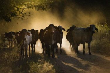 IBXIAL04099299 Cattle on dirt road, Rio das Flores, Rio de Janeiro, Brazil, South America