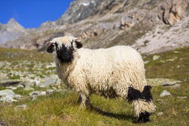 IBXIKU04098631 Valais Blacknose Sheep, at Hohbalmen, Zermatt, Canton of Valais, Switzerland, Europe