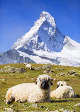 IBXIKU04098632 Valais Blacknose Sheep at Hohbalmen, the Matterhorn at the back, Zermatt, Canton of Valais, Switzerland, Europe