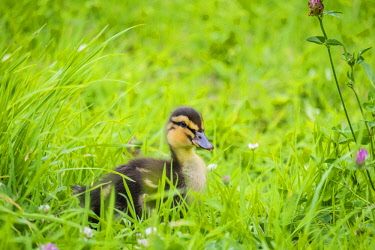 IBXJWL04005475 Ten-day-old duckling in the grass, La Creuse, Limousin, France, Europe