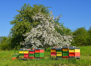 IBXKAZ04415909 Bee hives in front of a blooming fruit tree, Baden-Wurttemberg, Germany, Europe