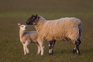 IBXKSA04318778 Sheep (Ovis aries), lamb and ewe on a pasture, Suffolk, United Kingdom, Europe