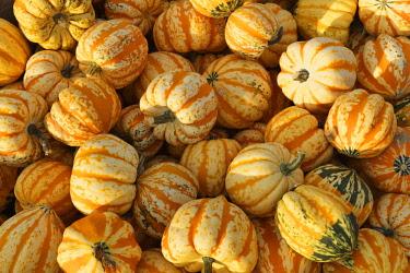 IBXMAN04285192 Microwave pumpkins, Bavaria, Germany, Europe