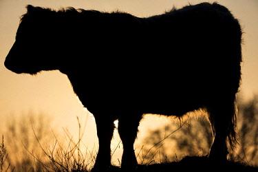 IBXMBE04329286 Galloway cattle (Bos primigenius taurus) in backlight on a pasture, Doberitzer Heide nature reserve, Brandenburg, Germany, Europe