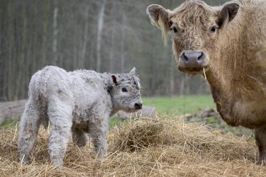 IBXMBE04360329 Galloway cattle (Bos primigenius taurus) with blond pigmentation, suckler with newborn calf, appropriate animal welfare, free range, Nature reserve Doberitz Heath, Priort, Brandenburg, Germany, Europe
