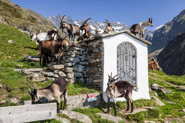 IBXMBR04247556 Goats by a small chapel, Zieltal below Sattelspitz Meraner Land, South Tyrol Province of region of Trentino-Alto Adige, Alps, Italy, Europe
