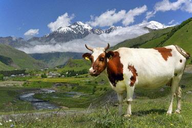 IBXMEA03936016 Cow on a pasture at River Tergi or Terek, near Sioni, High Caucasus, Mtskheta-Mtianeti region, Georgia, Asia