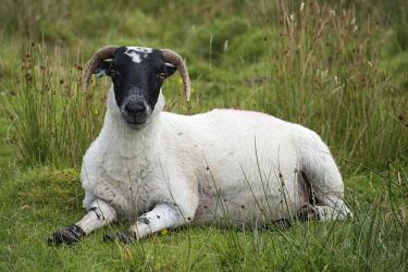 IBXMKL04415299 Scottish Sheep, Scottish Blackface sheep (Ovis aries gmelini) lying in meadow, Isle of Islay, Inner Hebrides, Scotland, United Kingdom, Europe