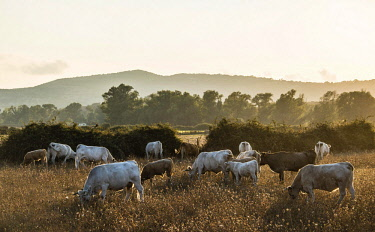 IBXMMW04037216 Charolais cattle in a pasture, evening light, Corsica, France, Europe