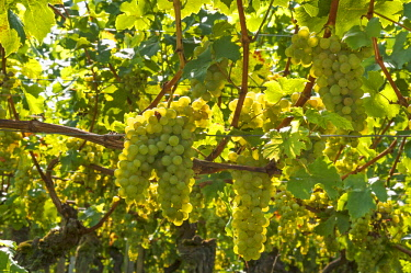 IBXMZC04236790 White grapes on vine, backlight, Kenzingen-Hecklingen, Baden-Wurttemberg, Germany, Europe
