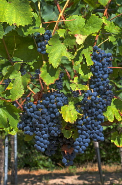 IBXMZC04236822 Blue grapes on vine, Kenzingen-Hecklingen, Baden-Wurttemberg, Germany, Europe