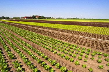 "IBXMZC04286284 Salat, Anbau in ""garlic country"", vegetable growing area in Hofles near Nuremberg, Middle Franconia, Bavaria, Germany, Europe"