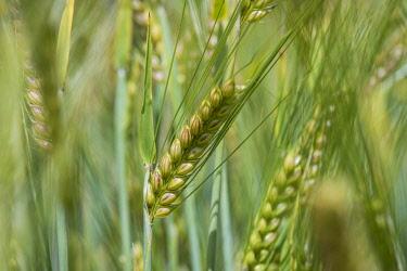 IBXOMK04172920 Spring barley (Hordeum vulgare), Baden-Wurttemberg, Germany, Europe