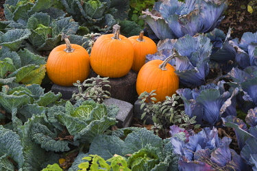 IBXPMT04282139 Pumpkins (Cucurbita sp.) in bed of cabbage (Brassica oleracea), autumn, Montreal Botanical Garden, Quebec, Canada, North America