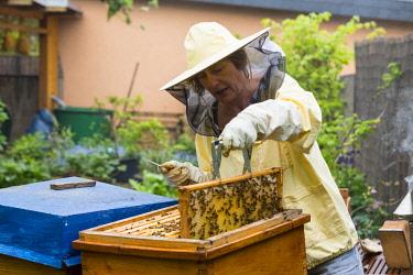 IBXPUR04305699 Beekeeper tending beehive, European honey bees (Apis mellifera), Germany, Europe